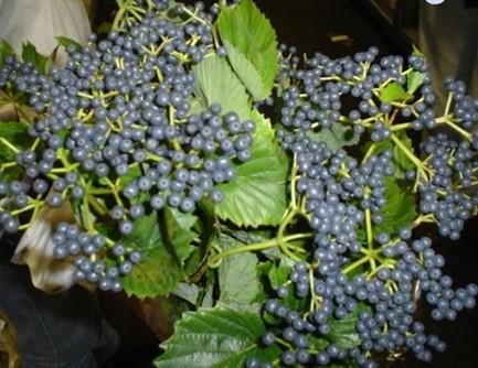 Viburnum de Inge Blue
