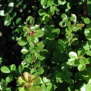 african-boxwood