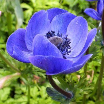 Anemone Giant Blue