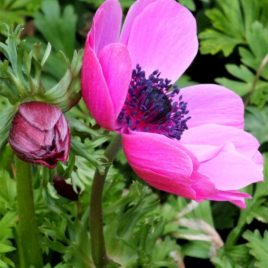 Anemone Giant Hot Pink