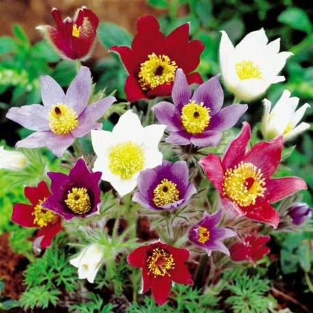 anemone_hybrid_perennial_plants_on_sale