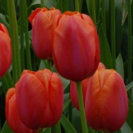 French Tulip Avignon