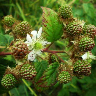 Blackberries Flower