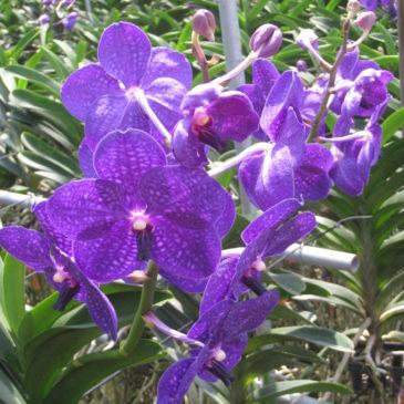 Vanda Purple