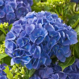 Fresh Blue Renate