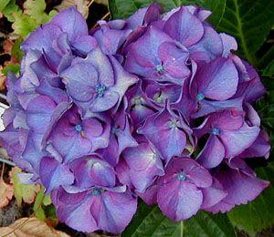Fresh Purple Alpen Masja