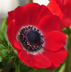 Anemone Jumbo Red