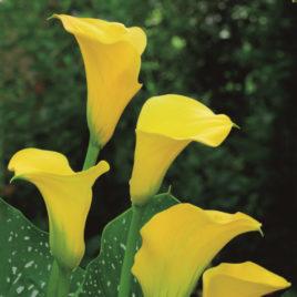 Florex Gold