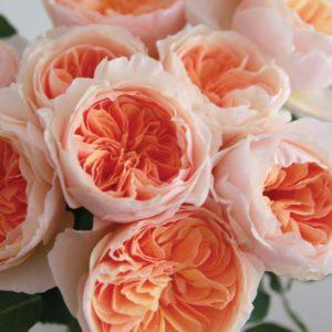 garden-rose-juliet