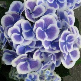 Fresh Bi-Color (Purple/White)