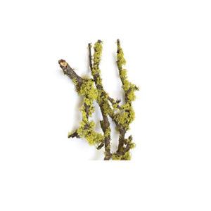 lichen-chartreuse