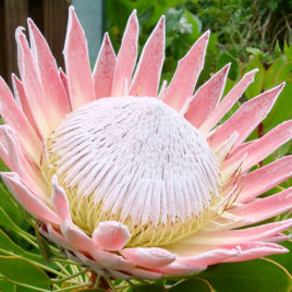 Light Pink Protea