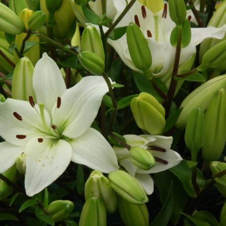 liluim asiatic white