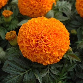 orange-marigold