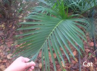 palm-cat