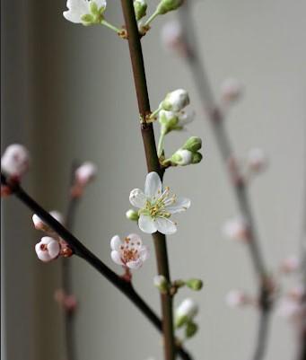 plum white