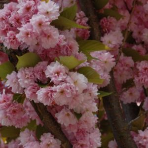 prunus hot pink
