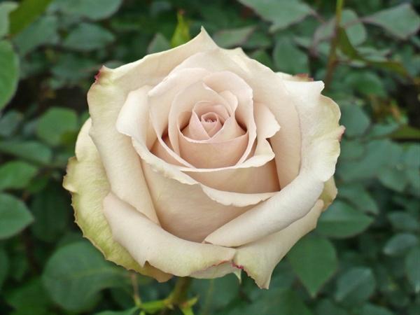 quicksand-roses