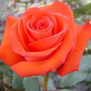 rose-rockstar