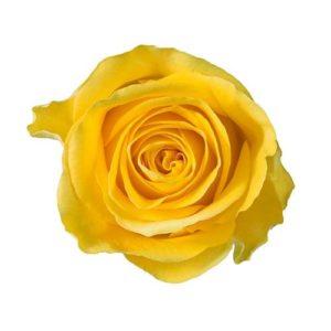 rose_brighton