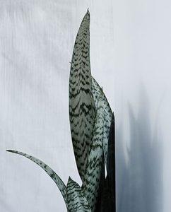 silver-cobra