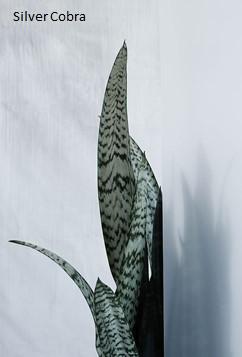 Sanseveria Cobra Silver