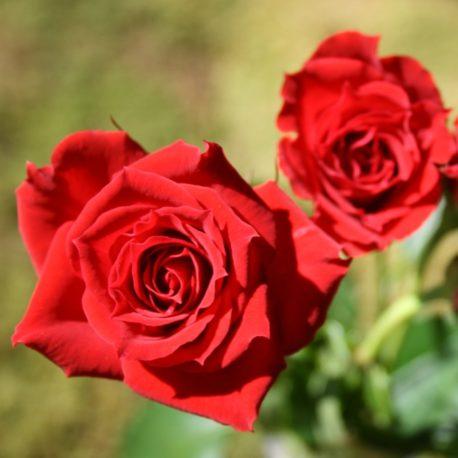 spray-rose-red-mikado