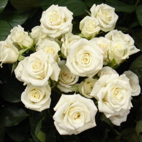 spray-roses-majolika