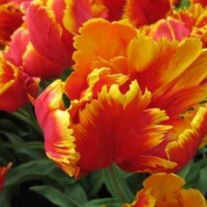 tulip PARROT BRIGHT