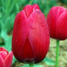 French Tulip Renown